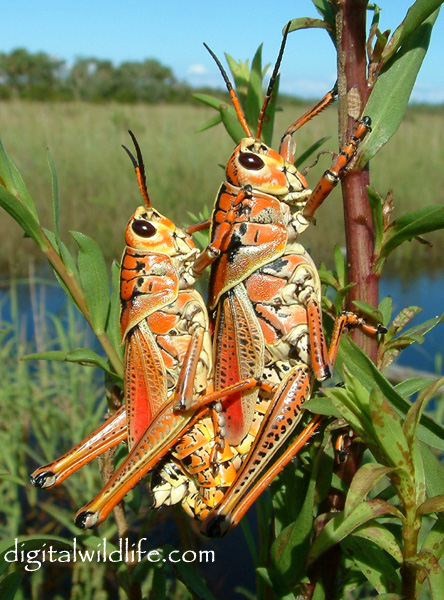 Grasshopper Scientific Name